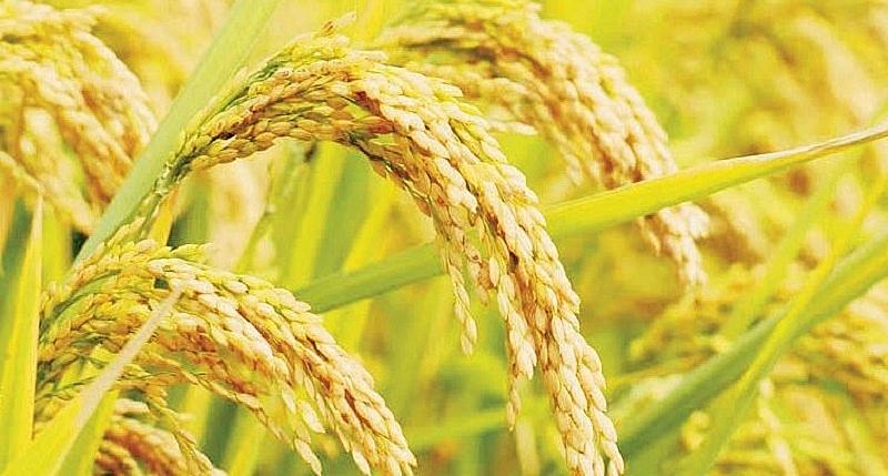 Giá lúa gạo hôm nay ngày 23/2: Giá lúa giảm nhẹ, giá gạo tăng