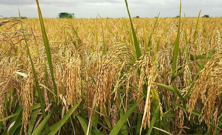 Giá lúa gạo hôm nay ngày 24/2: Nguồn cung lúa Đông Xuân thấp, giá cao