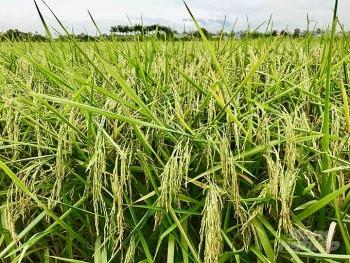Giá lúa gạo hôm nay 25/3: Giá lúa ổn định, gạo nguyên liệu về nhiều