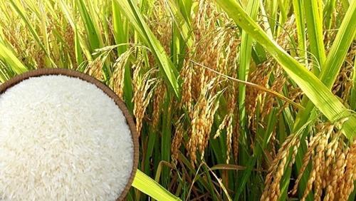 Giá lúa gạo hôm nay 15/4: Giá lúa xu hướng tăng trở lại