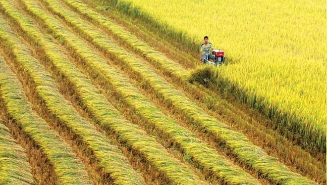 Giá lúa gạo hôm nay 11/5: Giá lúa gạo đi ngang