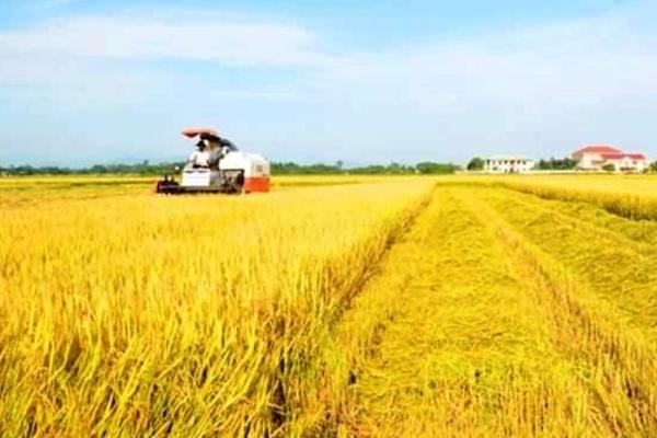 Giá lúa gạo hôm nay 1/6: Giá lúa gạo chững đà giảm