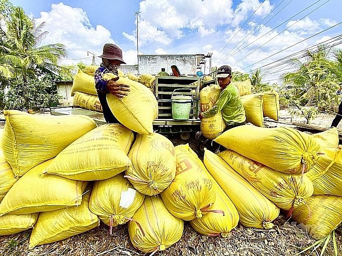 Giá lúa gạo hôm nay 12/8: Giá lúa đồng loạt tăng thêm 100 đồng