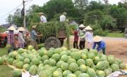 Big C Việt Nam chung tay 'giải cứu' dưa hấu Quảng Ngãi