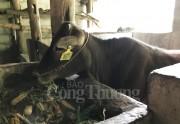 Bà con dân tộc Hà Giang  thoát nghèo nhờ bò giống của Viettel