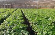 Hơn 15 triệu cây cà phê giống được phân phối tới nông dân Tây Nguyên