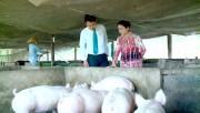 Kienlongbank giảm lãi suất vay cho các hộ chăn nuôi heo trên toàn quốc