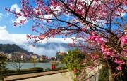 Lâm Đồng sẽ tổ chức Lễ hội Hoa anh đào lần đầu tiên