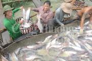 ĐBSCL: Giá cá tra nguyên liệu xuất khẩu tăng