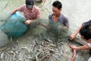 Giá tôm nguyên liệu tại đồng bằng sông Cửu Long tăng trở lại