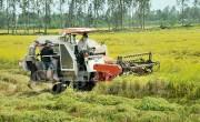 Giá lúa ĐBSCL đang có chiều hướng giảm
