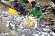 Giá cá tra giống giảm mạnh, cá thương phẩm ổn định