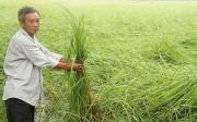 Hạt gạo từ giống lúa ông bà 300 năm tuổi đắt hàng