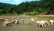 Mô hình nuôi cừu đầu tiên ở Nghệ An của chàng trai 8X