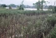 Thừa Thiên Huế: Mưa lụt- long đong hoa cúc Tết