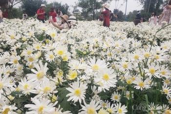 Người dân hào hứng với vườn cúc họa mi trái mùa tại Đà Nẵng