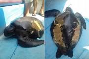 Quảng Nam: Thả một cá thể rùa 25kg về đại dương