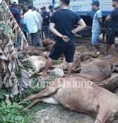 Quảng Nam- Ngang nhiên bày bán bò chết không rõ nguyên nhân