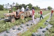 Quảng Nam: Được 'giải cứu' hơn 600 tấn dưa hấu, chủ tịch xã viết thư cảm ơn