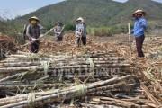Hội nhập ngành mía đường- Kinh nghiệm từ Thái Lan