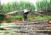 Thanh Hóa khuyến khích phát triển bền vững ngành mía đường