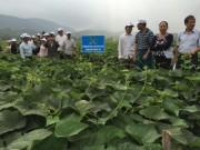 Phân bón Lâm Thao giúp tăng năng suất cho rau su su Tam Đảo