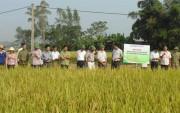 NPK-S Lâm Thao giúp tăng năng suất lúa vụ mùa