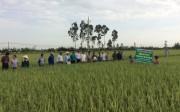 NPK-S Lâm Thao cho vụ mùa bội thu ở quê lúa