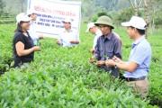 NPK khép kín Lâm Thao tăng năng suất cây chè Lai Châu