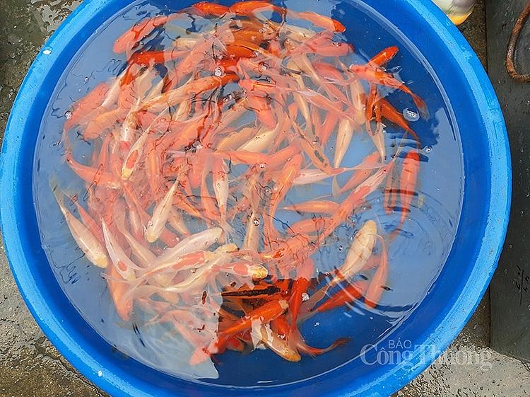 Cá chép năm nay khá nhỏ, tại các chợ không nhiều người bán, giá bán từ 30.000 - 40.000 đồng/3 con