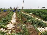 Đã thu mua khoảng 60 tấn củ cải cho người dân ở Mê Linh