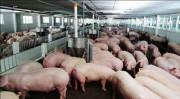 Bộ trưởng Nguyễn Xuân Cường đề xuất 2 giải pháp 'cứu' ngành chăn nuôi