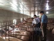 Giá lợn hơi đã tăng 5.000 – 7.000 đồng/kg