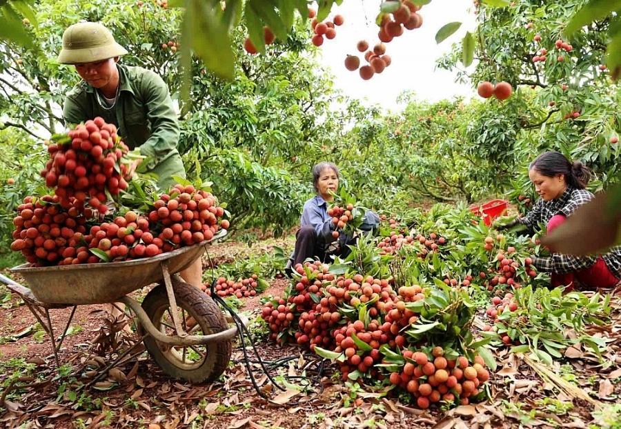 thu hoạch vải thiều lục ngạn (Bắc Giang)