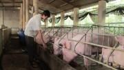 Đừng thấy giá lợn tăng mà tăng đàn