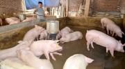 Giá thịt lợn tăng mạnh, bà con không nên tăng đàn ồ ạt