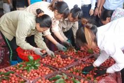 Bắc Giang: Vải cuối vụ tiêu thụ ổn định, được giá