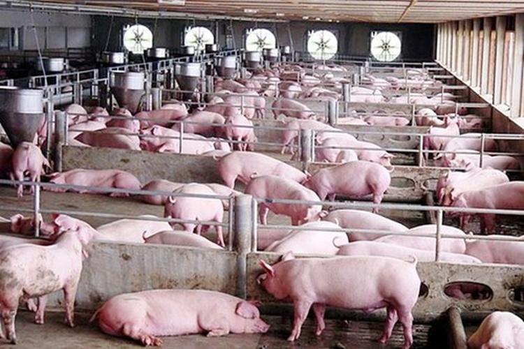 Giá lợn hơi hôm nay 12/5: Tiếp tục giảm ở khu vực miền Bắc, có nơi xuống mức 64.000 đồng/kg