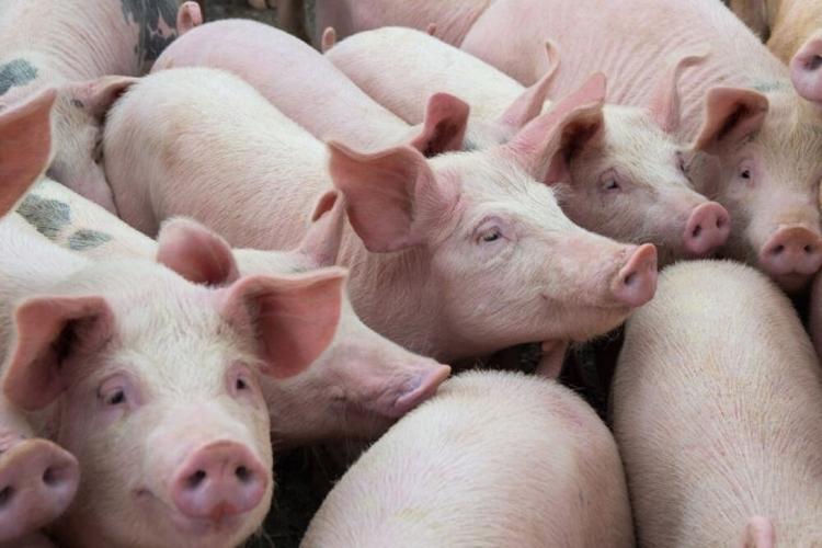Giá lợn hơi hôm nay 11/5: Tiếp tục xu hướng giảm ở nhiều địa phương trên cả nước