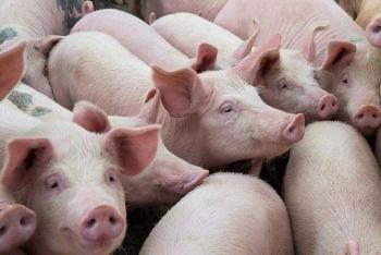 Giá lợn hơi hôm nay 31/3: Giảm nhẹ tại khu vực miền Bắc-Trung- Tây Nguyên