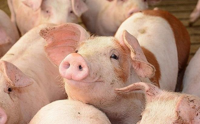 Giá lợn hơi hôm nay 5/5: Giảm mạnh, xuất hiện mức 67.000 đồng/kg tại khu vực miền Bắc