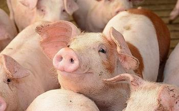 Giá lợn hơi hôm nay 3/3: Đi ngang tại các địa phương trên cả nước