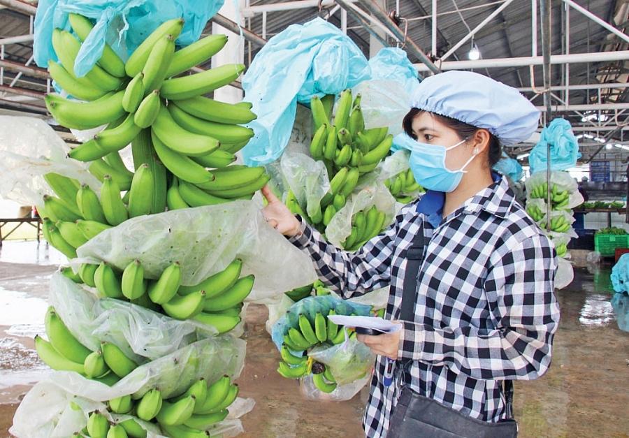 Hàn Quốc tăng nhập khẩu trái chuối từ thị trường Việt Nam