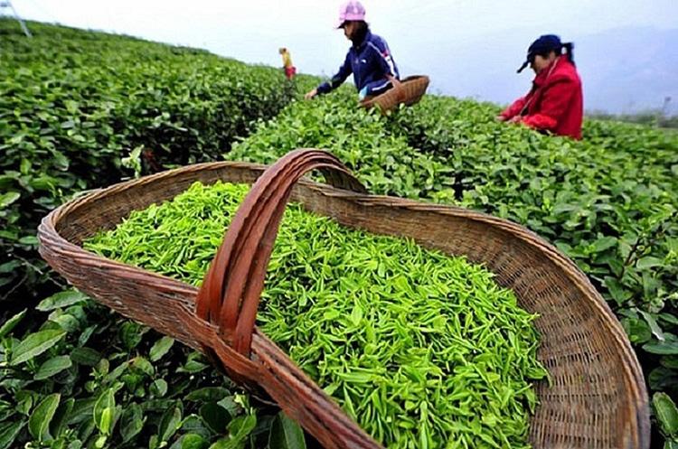 Thị phần chè của Việt Nam trong tổng lượng nhập khẩu của Australia giảm