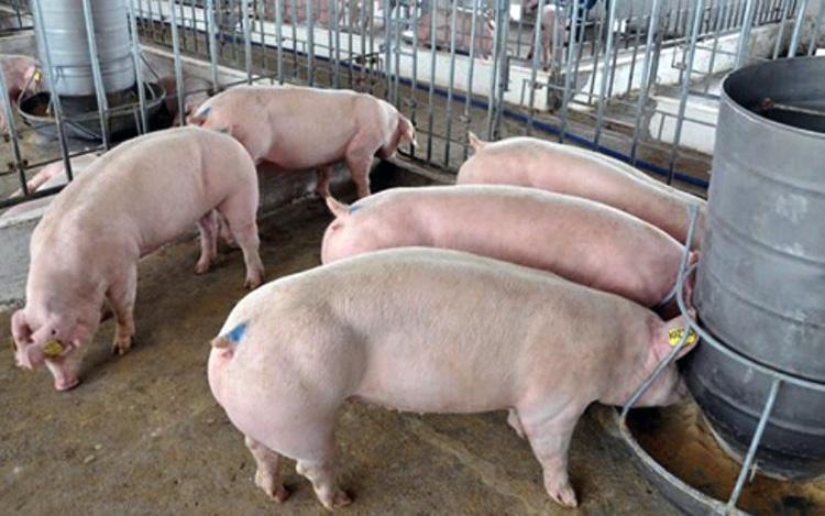 Giá lợn hơi hôm nay 7/5: Tiếp tục giảm ở một vài địa phương