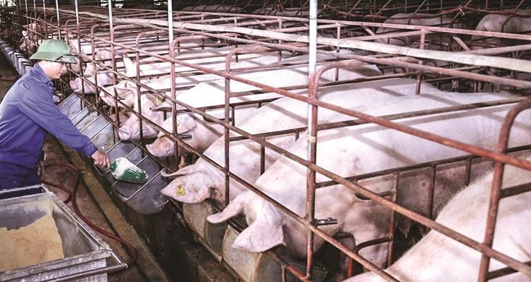 Giá lợn hơi hôm nay 27/4: Giảm nhẹ tại nhiều địa phương trên cả nước