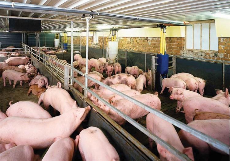 Giá lợn hơi hôm nay 10/5: Giảm rải rác trên địa bàn cả nước