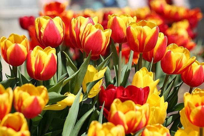 hon trieu bong tulip bien ba na thanh xu so ha lan