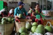 ĐBSCL: Bưởi da xanh giá cao, đối tác Trung Quốc vẫn 'ăn hàng' mạnh