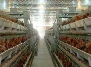 Ngành chăn nuôi trước TPP: Việt Nam đương đầu những đối thủ 'sừng sỏ'